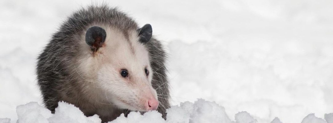 How to Get Rid of Possum?